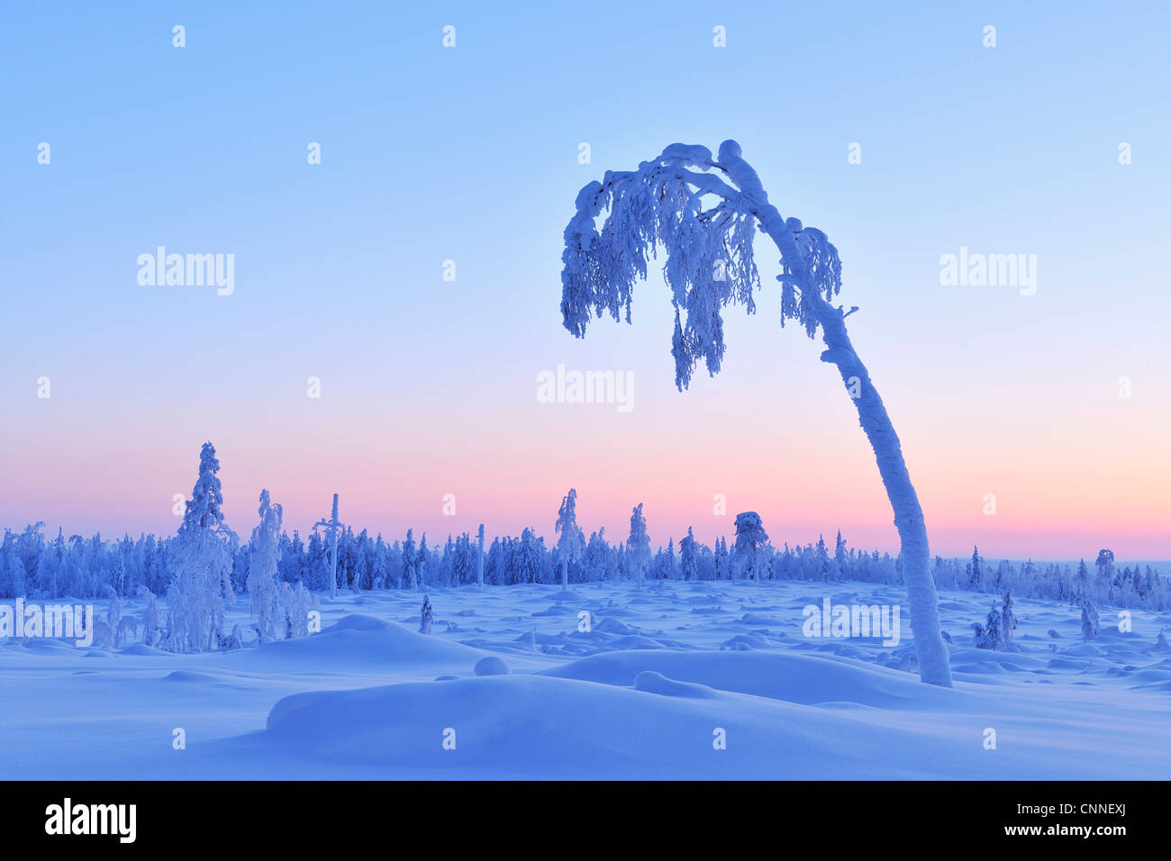 Snow Covered Tree at Dusk, Nissi, Northern Ostrobothnia, Finland Stock Photo