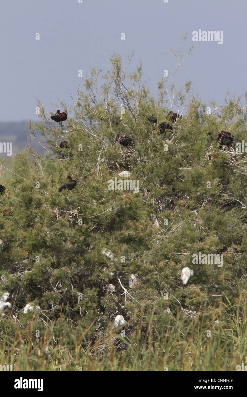 Nesting colony of Glossy Ibis in the Coto Donana, Spain. Numbers of this species are rapidly increasing - Stock Image