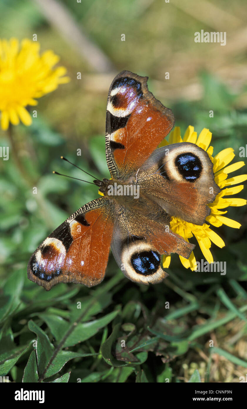 Peacock Butterfly (Inachis io) adult, with damage to eye-spot on wing, feeding on dandelion, Powys, Wales Stock Photo