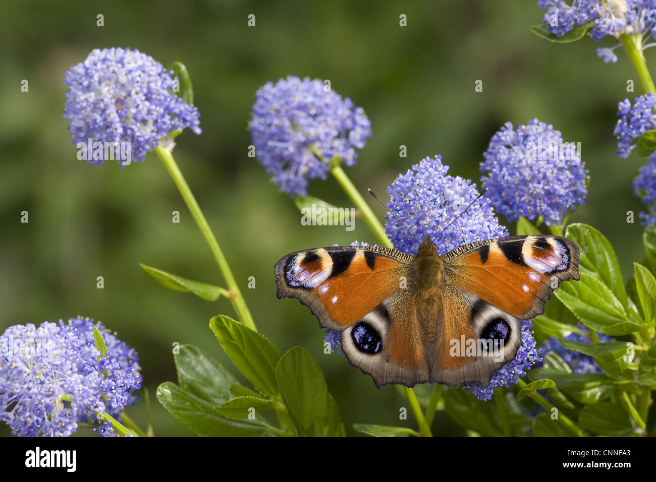 Peacock Butterfly (Inachis io) adult, feeding on California Lilac (Ceanothus arboreus) flowers in garden, England, - Stock Image