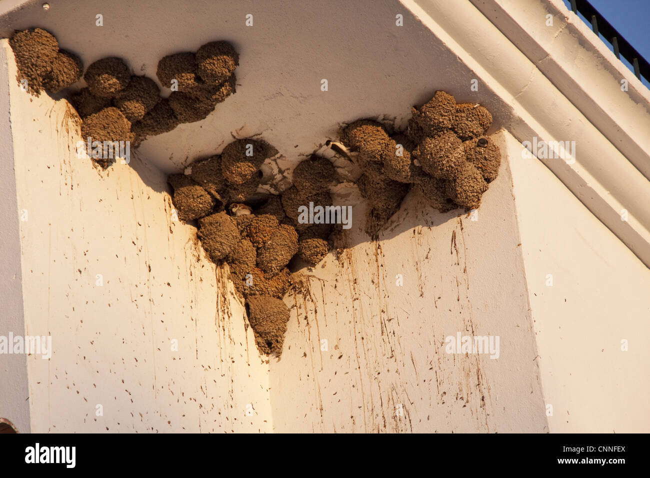 House Martin nests on building, some occupied by House Sparrows - Stock Image