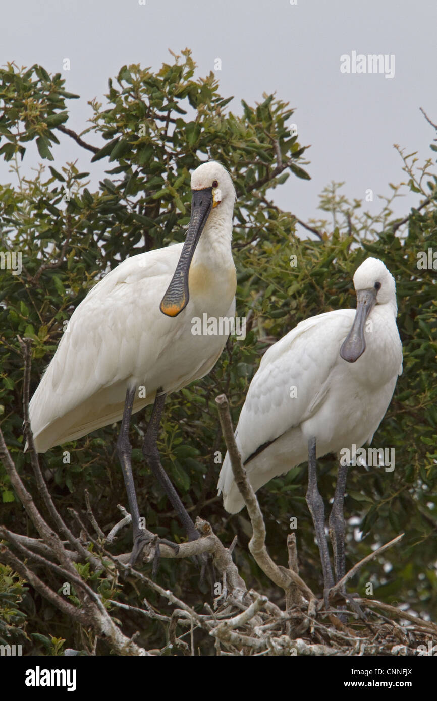 Adult and Immature Eurasian Spoonbill in Nesting Colony, Coto Donana, Spain. - Stock Image