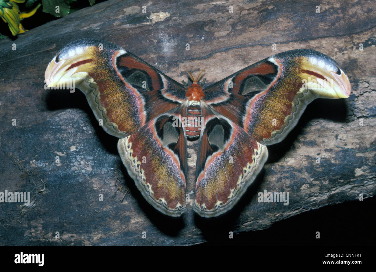 Moth - Atlas (Attacus atlas) close-up / on wood / one of the biggest moths in the world - Stock Image