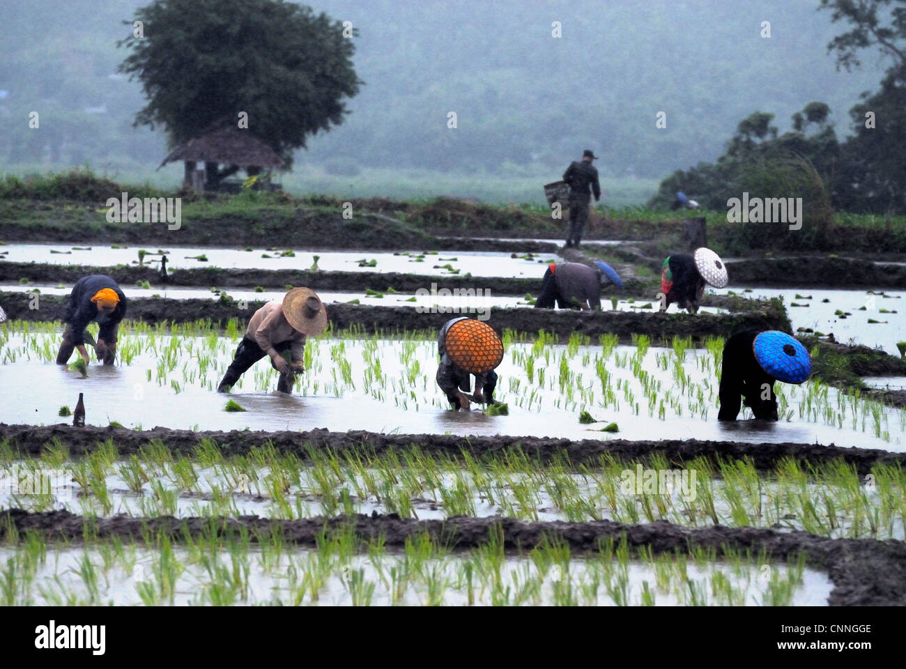f2adc5c1d Rice workers on a rainy day in Mae sariang on 29 06 2009 in Mae sariang  Thailand