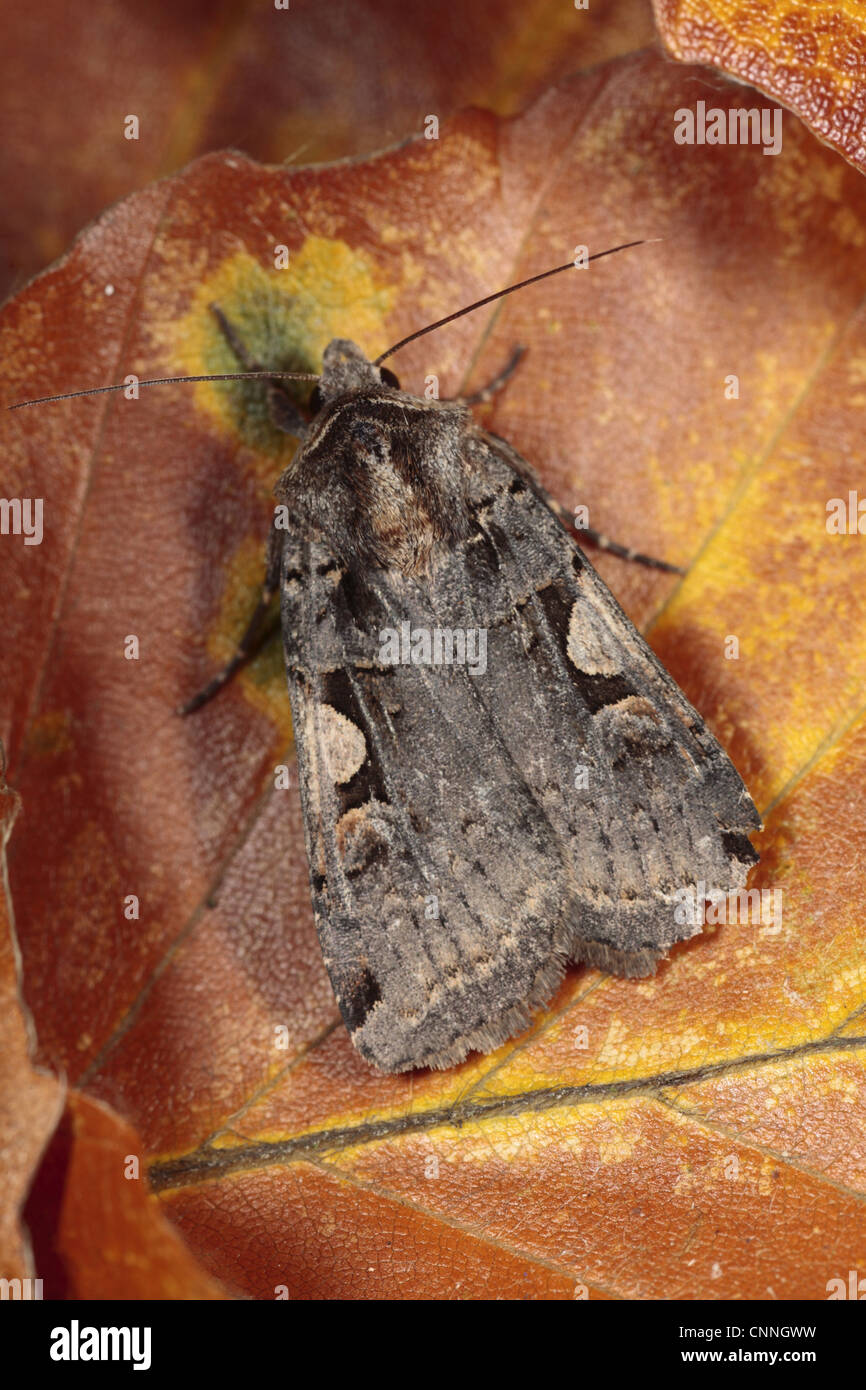 Setaceous Hebrew Character (Xestia c-nigrum) adult, resting on fallen beech leaf, Powys, Wales, october - Stock Image