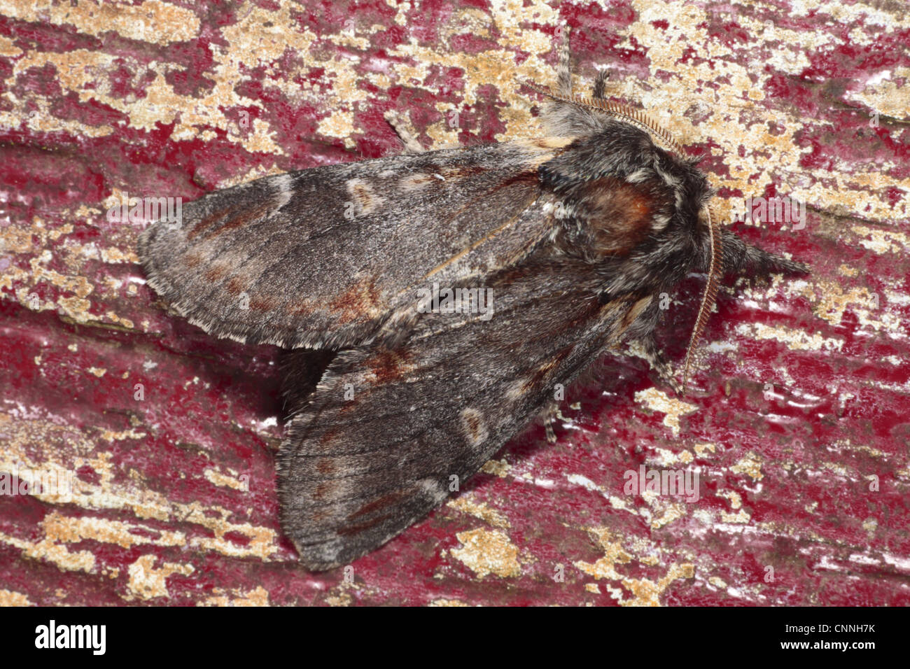 Iron Prominent Moth (Notodonta dromedarius) adult, resting on on old doorframe with flaking paint, Powys, Wales, - Stock Image
