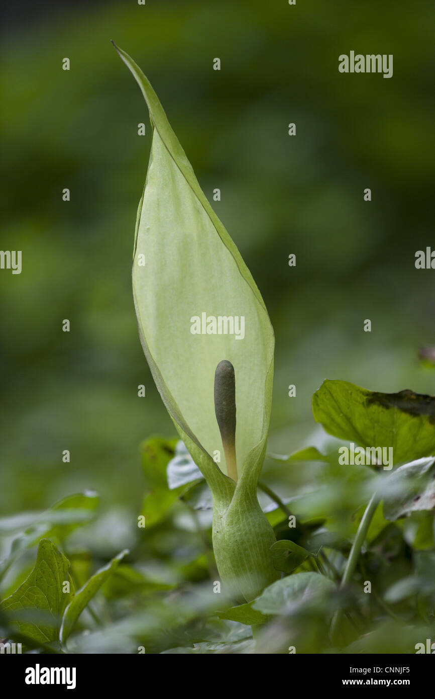 Lords and Ladies (Arum maculatum) spathe and spadix, growing in woodland, Peak District, Derbyshire, England, may - Stock Image