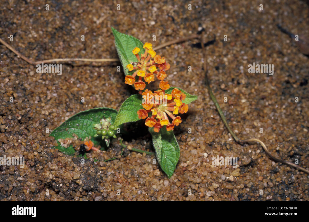 Sleeper Weed - Madagascar - Stock Image