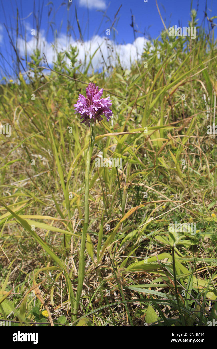 Pyramidal Orchid Anacamptis pyramidalis flowering growing in gulley slumped sea cliff Whitecliff Bay Isle Wight Stock Photo