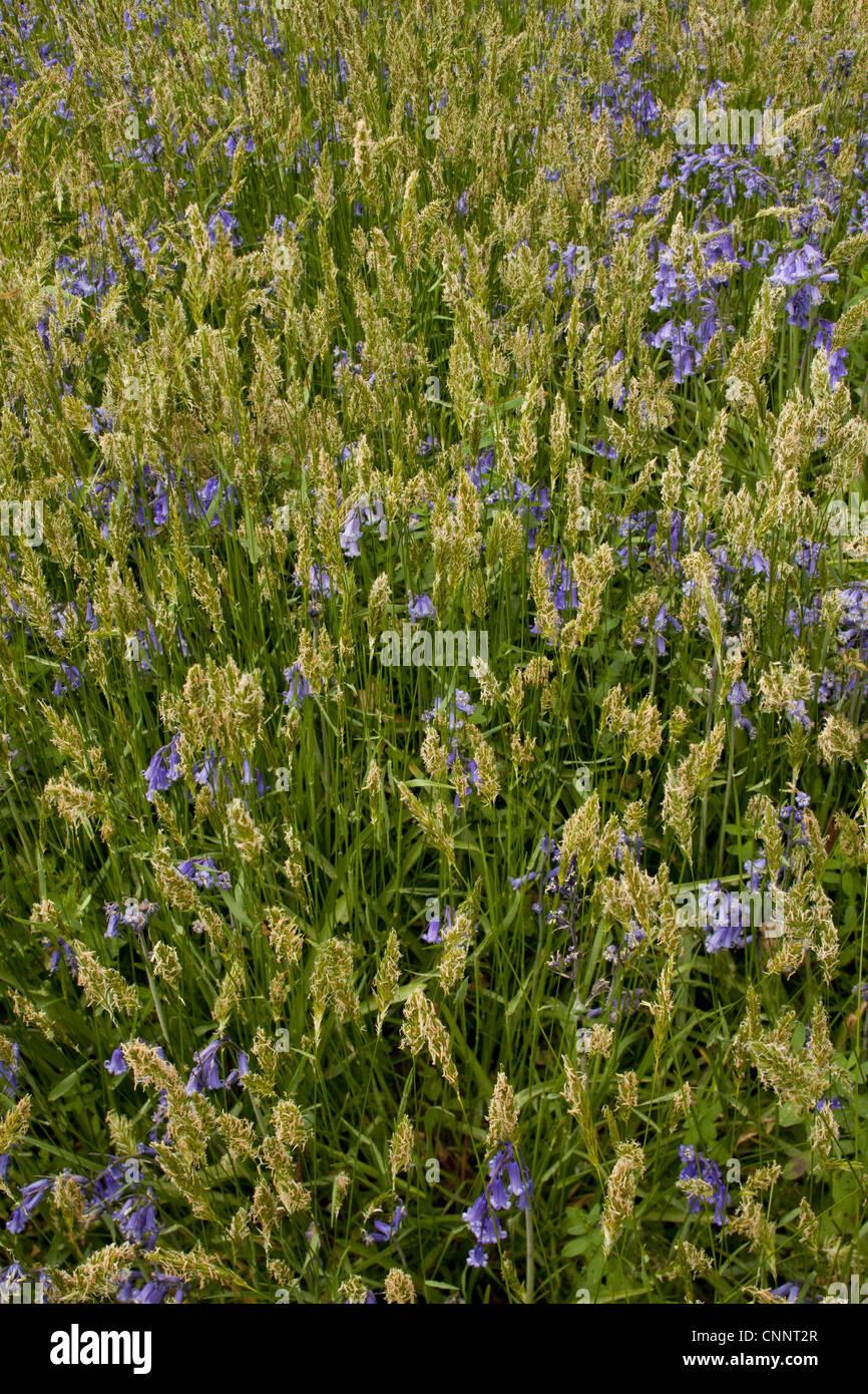 Sweet Vernal Grass Anthoxanthum odoratum Bluebell Endymion non-scriptus flowering growing woodland Garston Wood - Stock Image