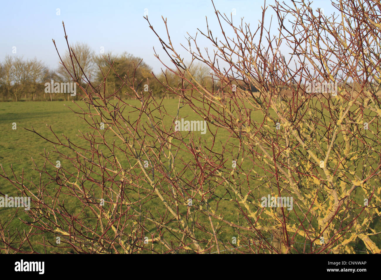 Common Dogwood (Cornus sanguinea) bare red stems, growing in hedgerow beside pasture, Bacton, Suffolk, England, - Stock Image