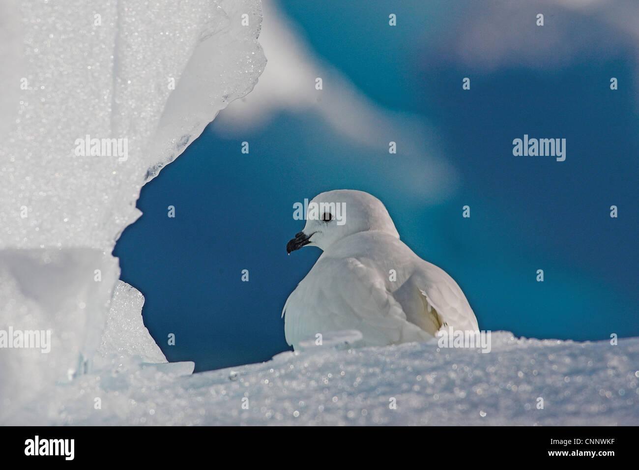 Snow Petrel (Pagodroma nivea) sat on ice flow along the Antarctic Peninsular - Stock Image