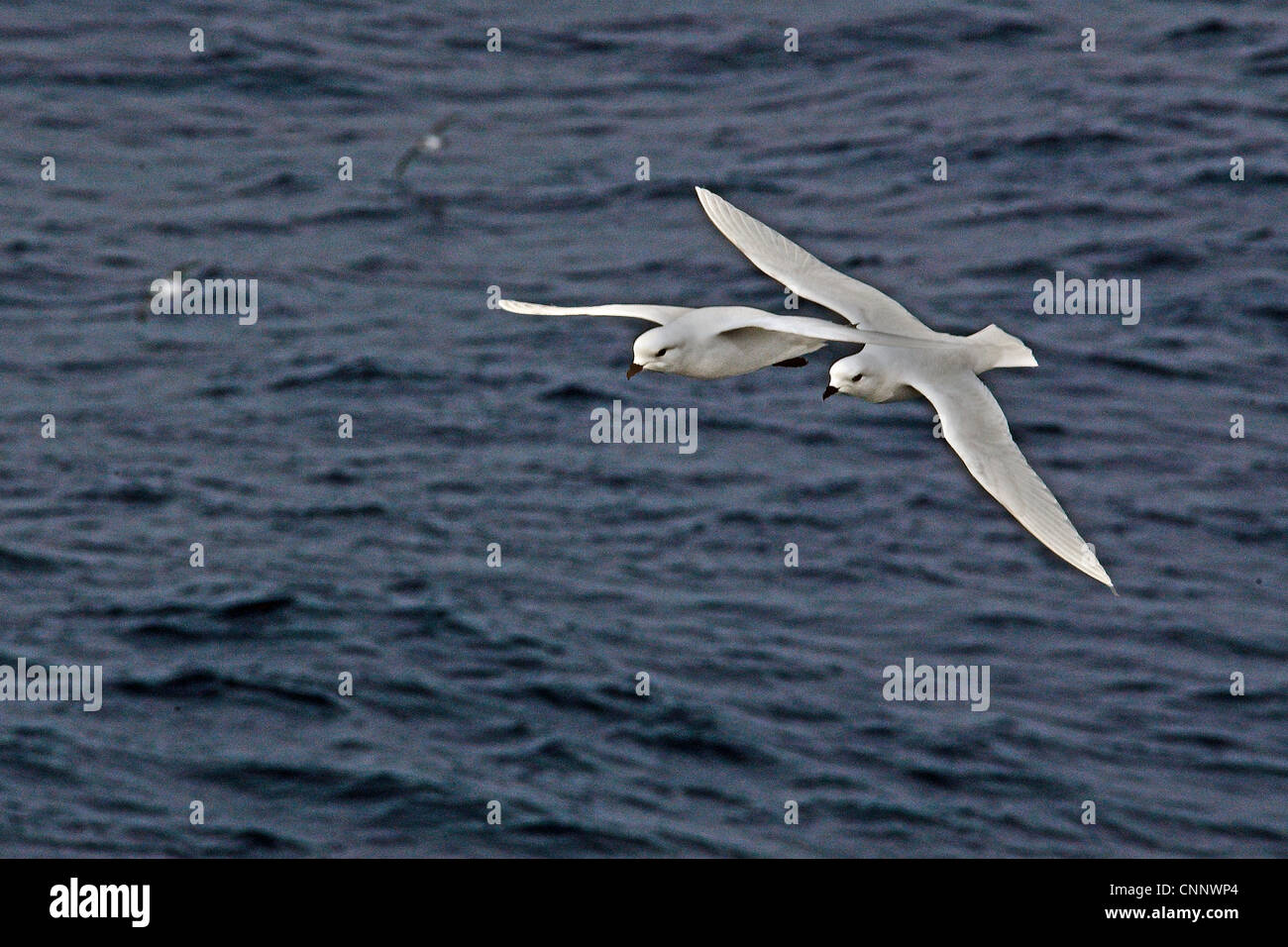 Two Snow Petrels (Pagodroma nivea) flying together above the Southern Ocean between South America and Falkland Islands - Stock Image
