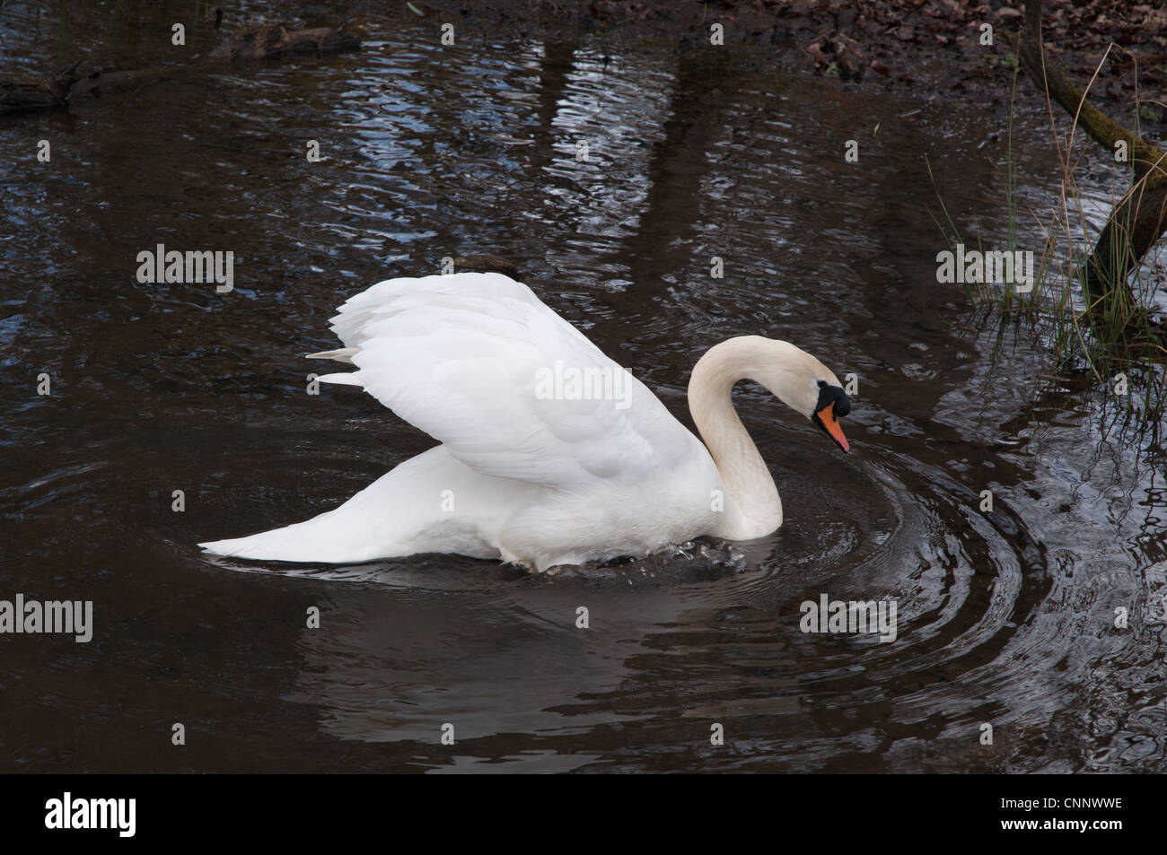 Mute Swan (Cygnus olor) on water showing feathers ripples reflections trees - Stock Image