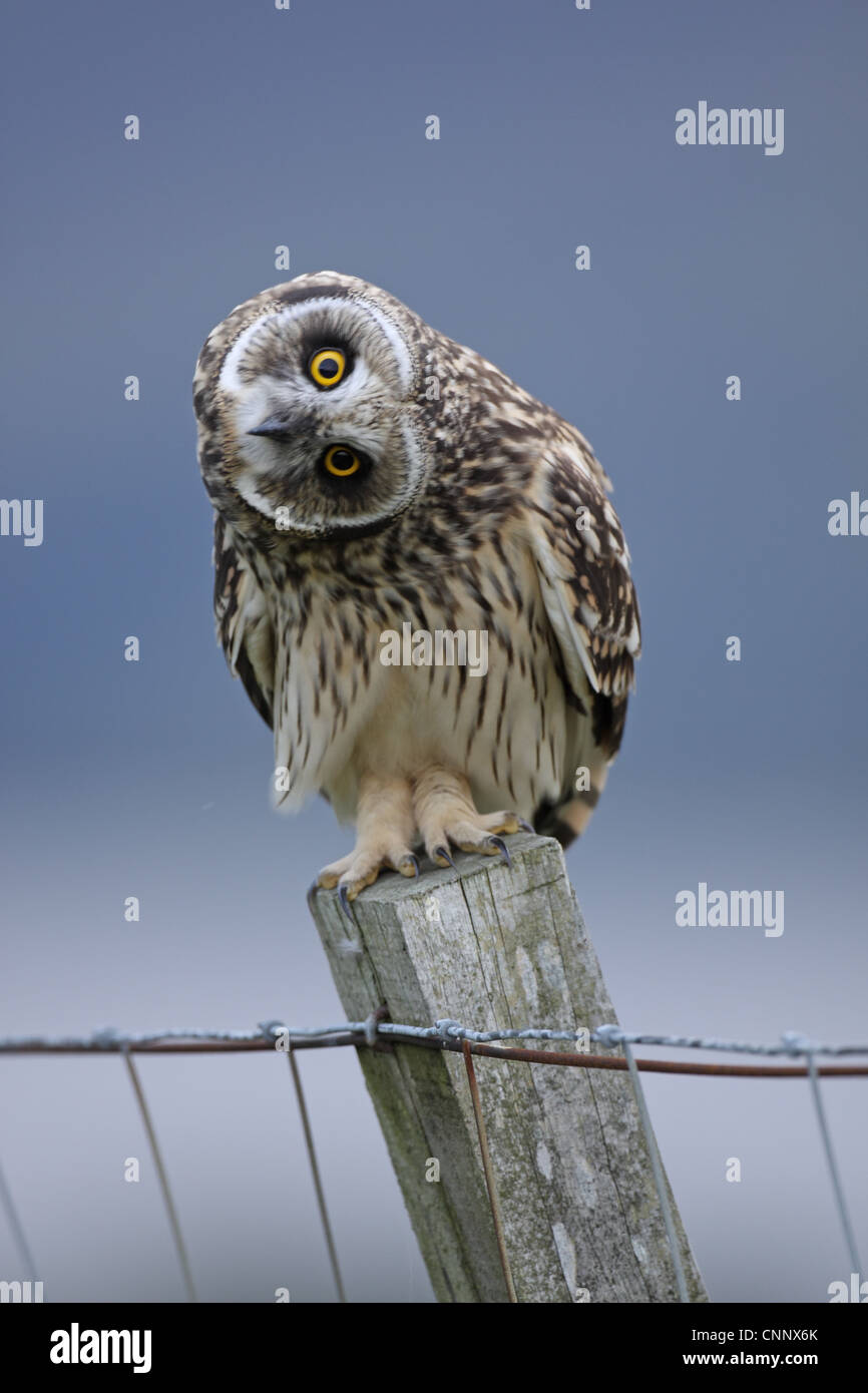 Short-eared Owl, Asio flammeus, juvenile head waving at author - Stock Image