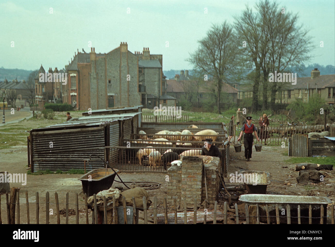 Pig farming, Wartime Britain, rearing pigs in blitzed area, North London, England, april l944 - Stock Image
