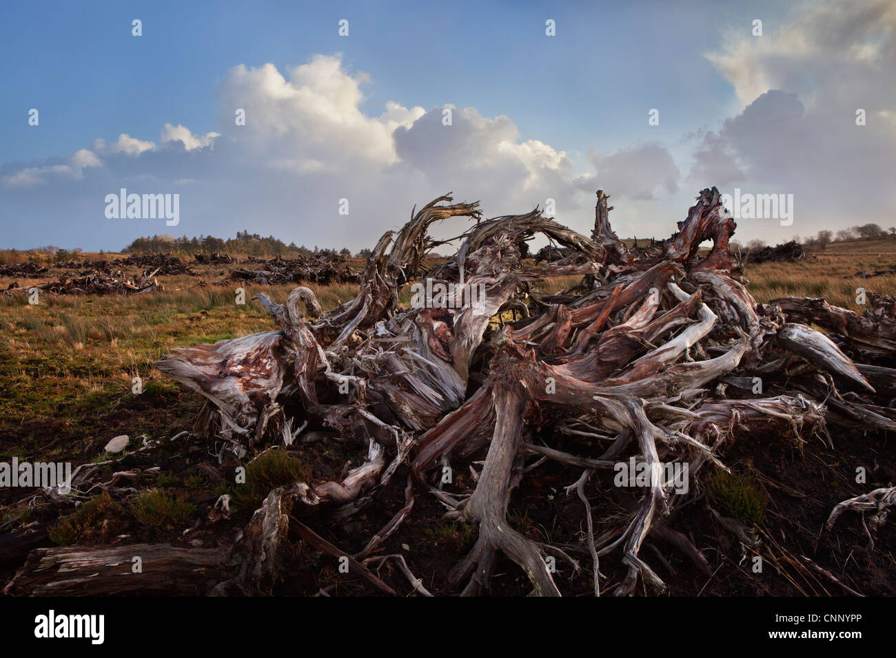 Ancient Bog Wood in County Mayo on the west coast of Ireland. - Stock Image