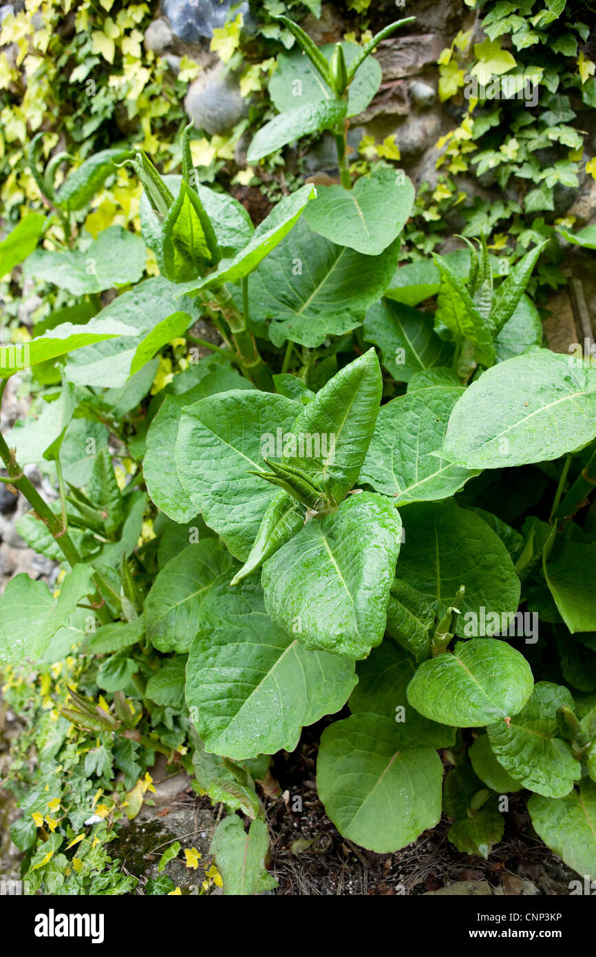 Japanese Knotweed In Your Garden: Japanese Knot Weed Stock Photos & Japanese Knot Weed Stock