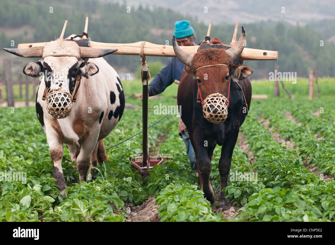 Asia, Bhutan, Bumthang. Farmer plowing fields with a pair of oxen - Stock Image