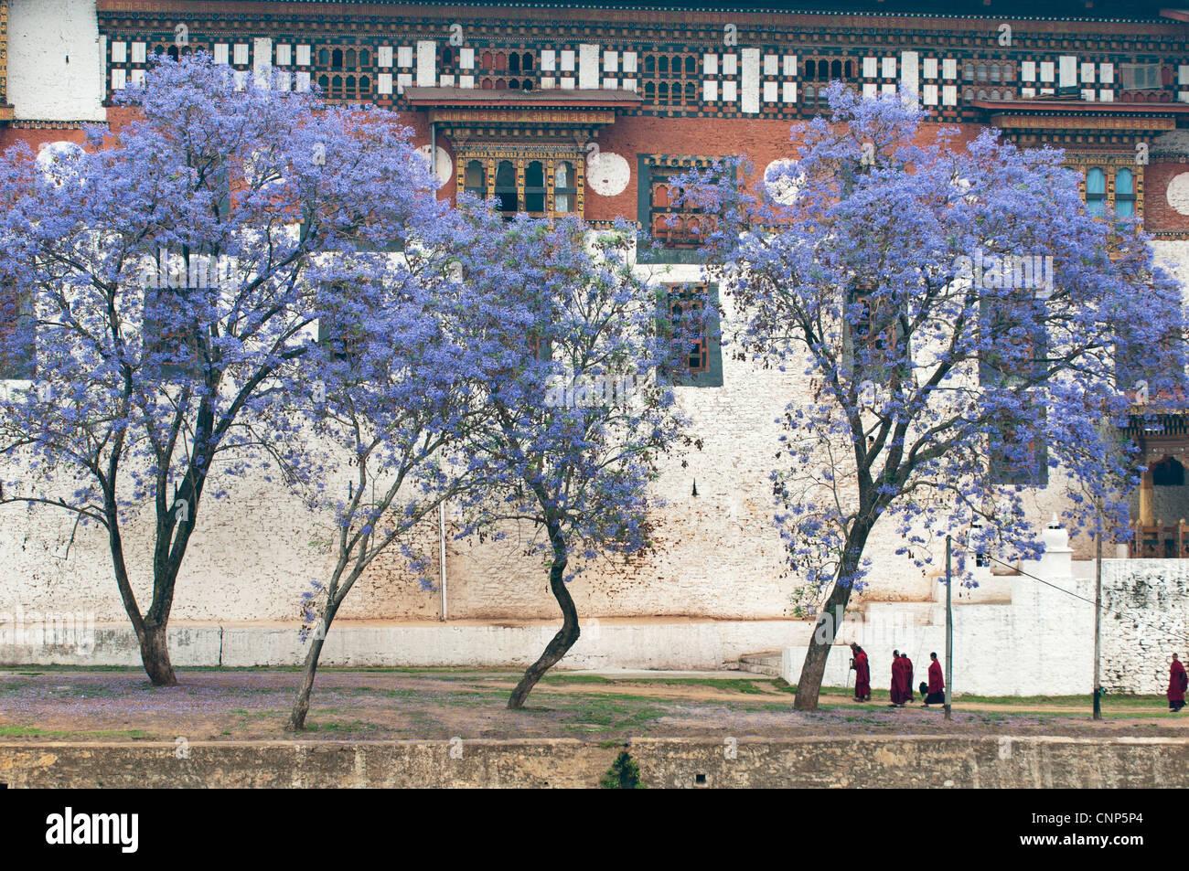 Asia, Bhutan. Monks walking by jacaranda trees outside Punakha Dzong palace - Stock Image