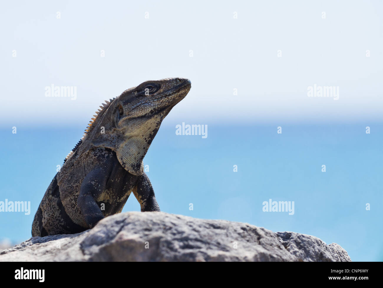 A large Iguana sun bakes on the ruins of an ancient civilization at Tulum Mexico. - Stock Image