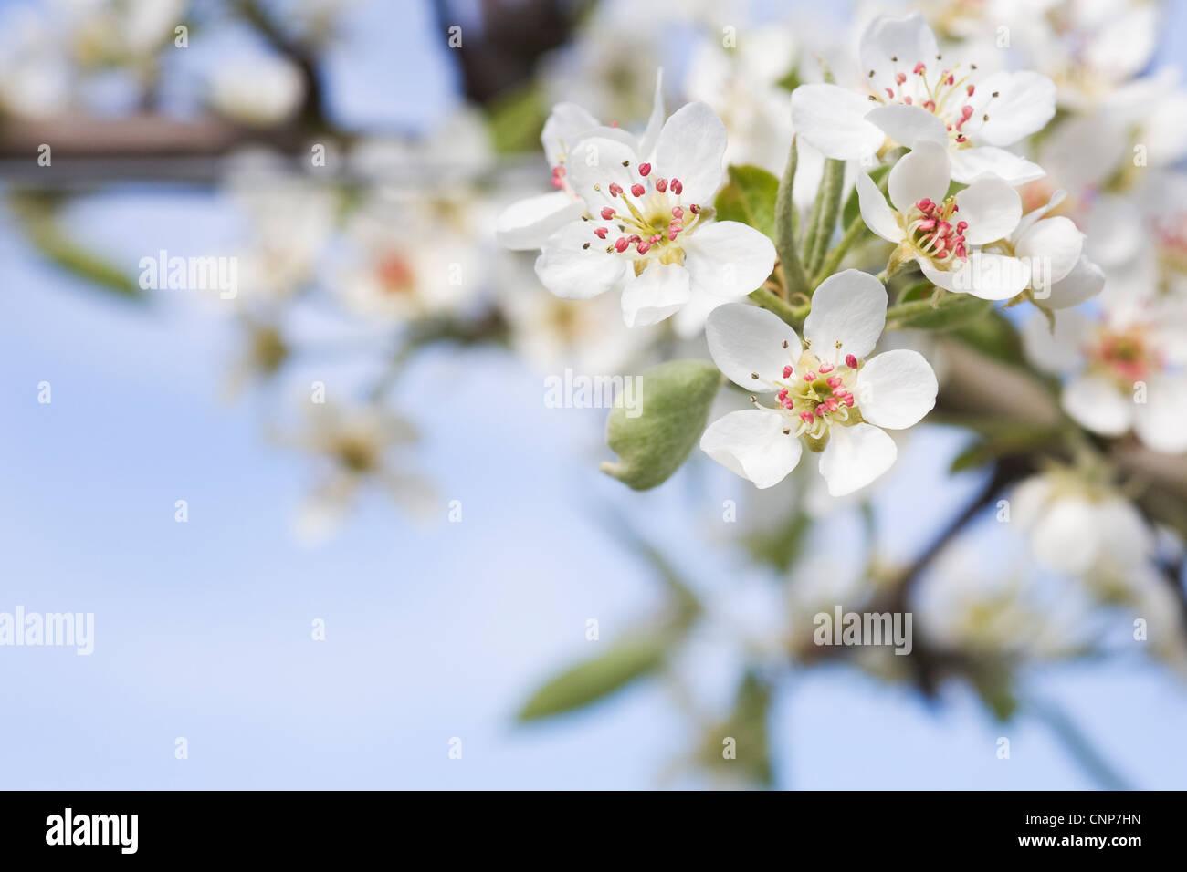 Pyrus communis 'Black Worcester'. Pear blossom 'Black Worcester'against a blue sky. - Stock Image