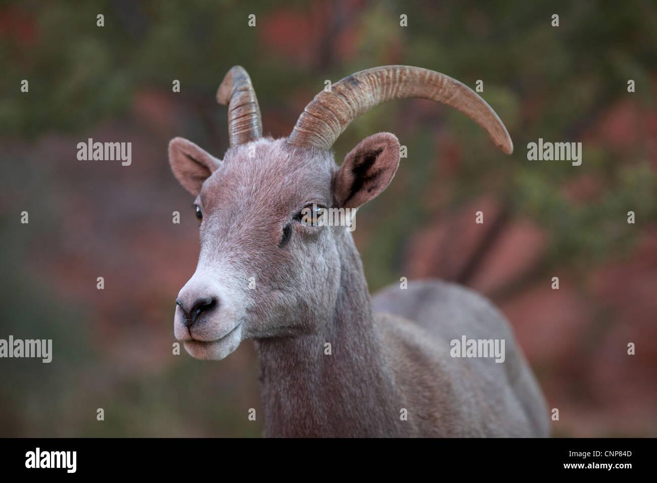 Big Horn Sheep ewe - Stock Image