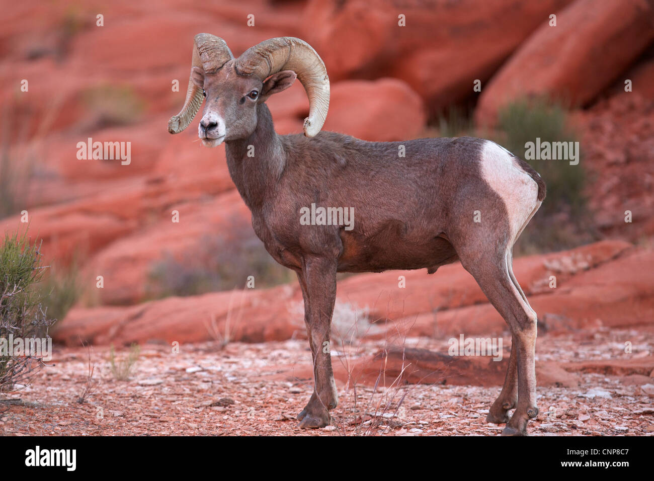 Big Horn Sheep Ram in Valley of Fire state park Nevada - Stock Image