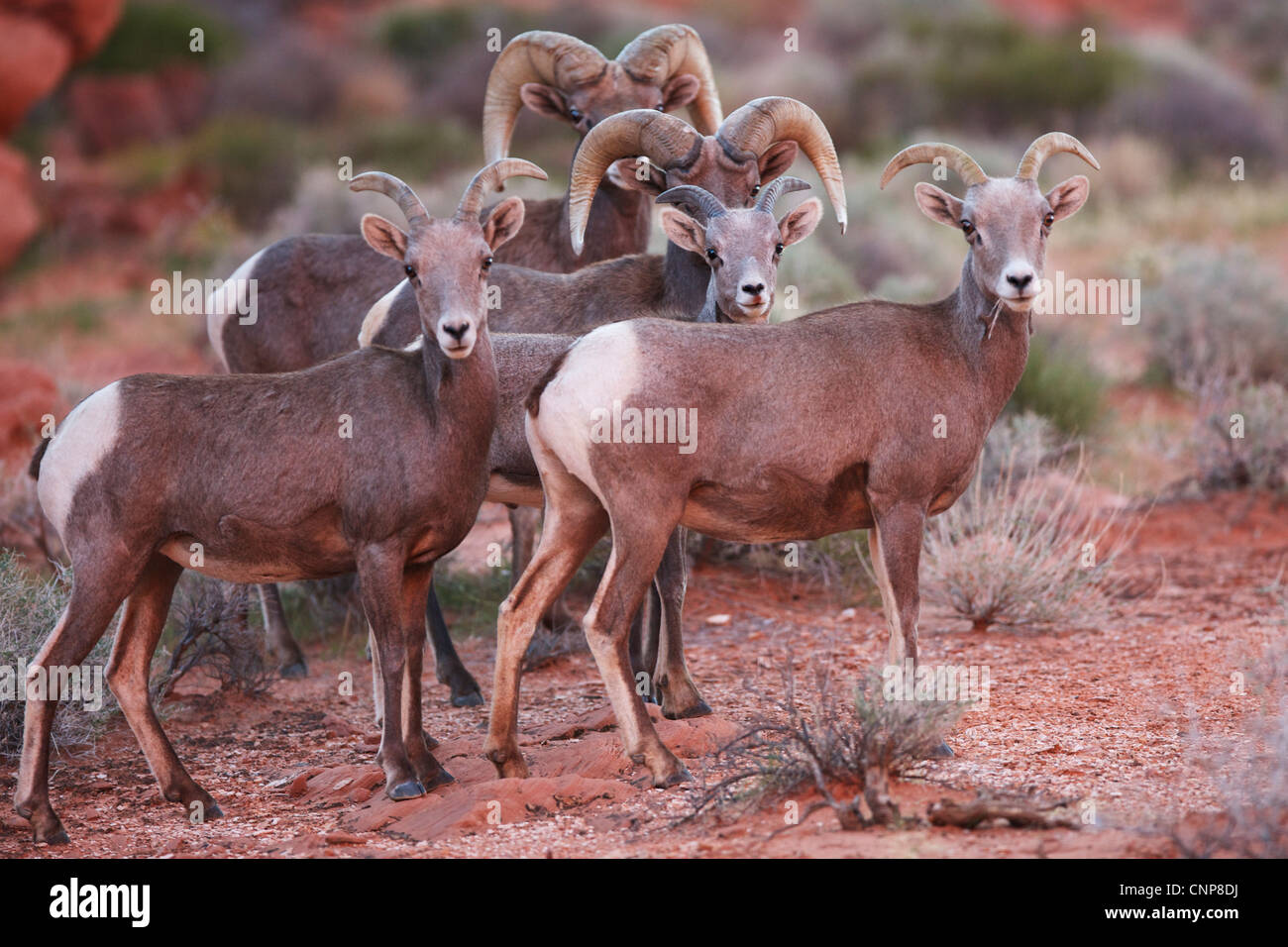 Big Horn Sheep rams and ewes in the desert at Valley of Fire state park Nevada - Stock Image