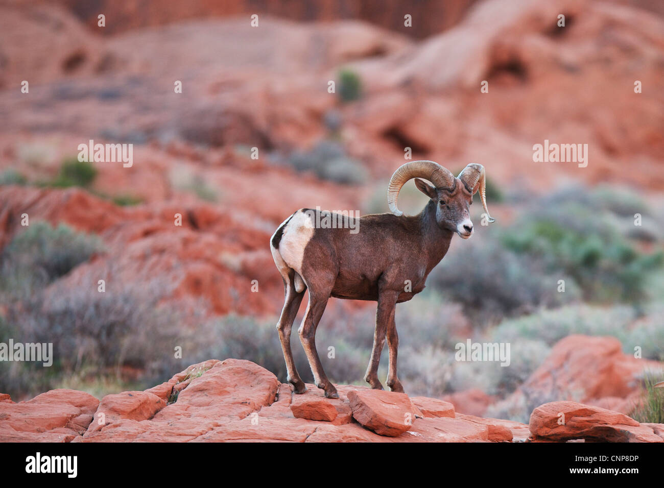 Big Horn Sheep Ram standing on rocks in the desert with sage brush in the backgrounded red rocks in Valley of Fire - Stock Image
