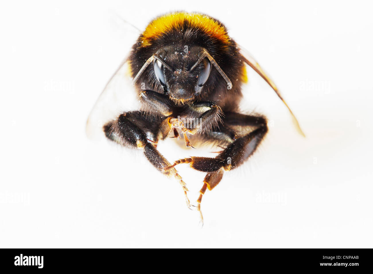 Close up (macro) anterior view of a Bumblebee (Bombus terrestris) against a white background - Stock Image