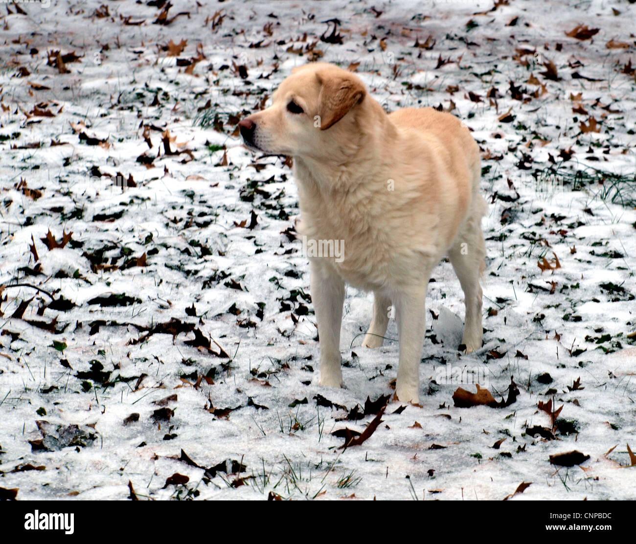 A Labrador Retriever and  Welsh Corgi Crossbred Dog in the Snow - Stock Image