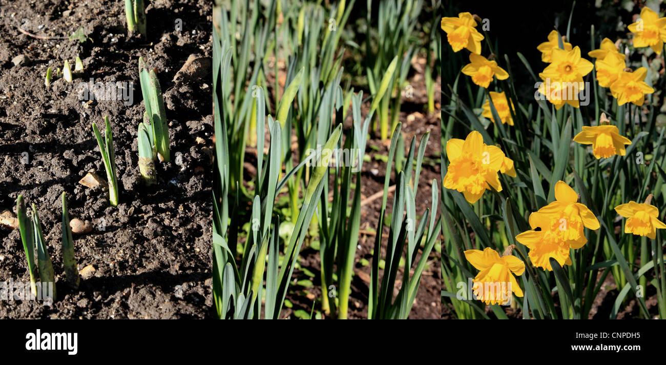 3746. Daffodil growing sequence, Kent, England - Stock Image
