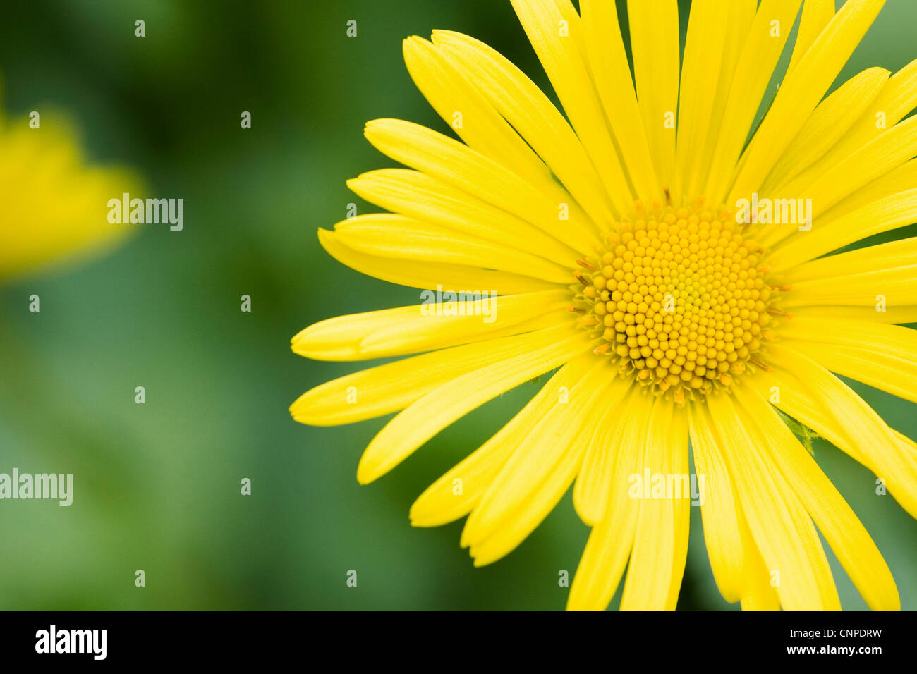 Doronicum orientale flower growing in an English garden. Leopard's bane flower. - Stock Image