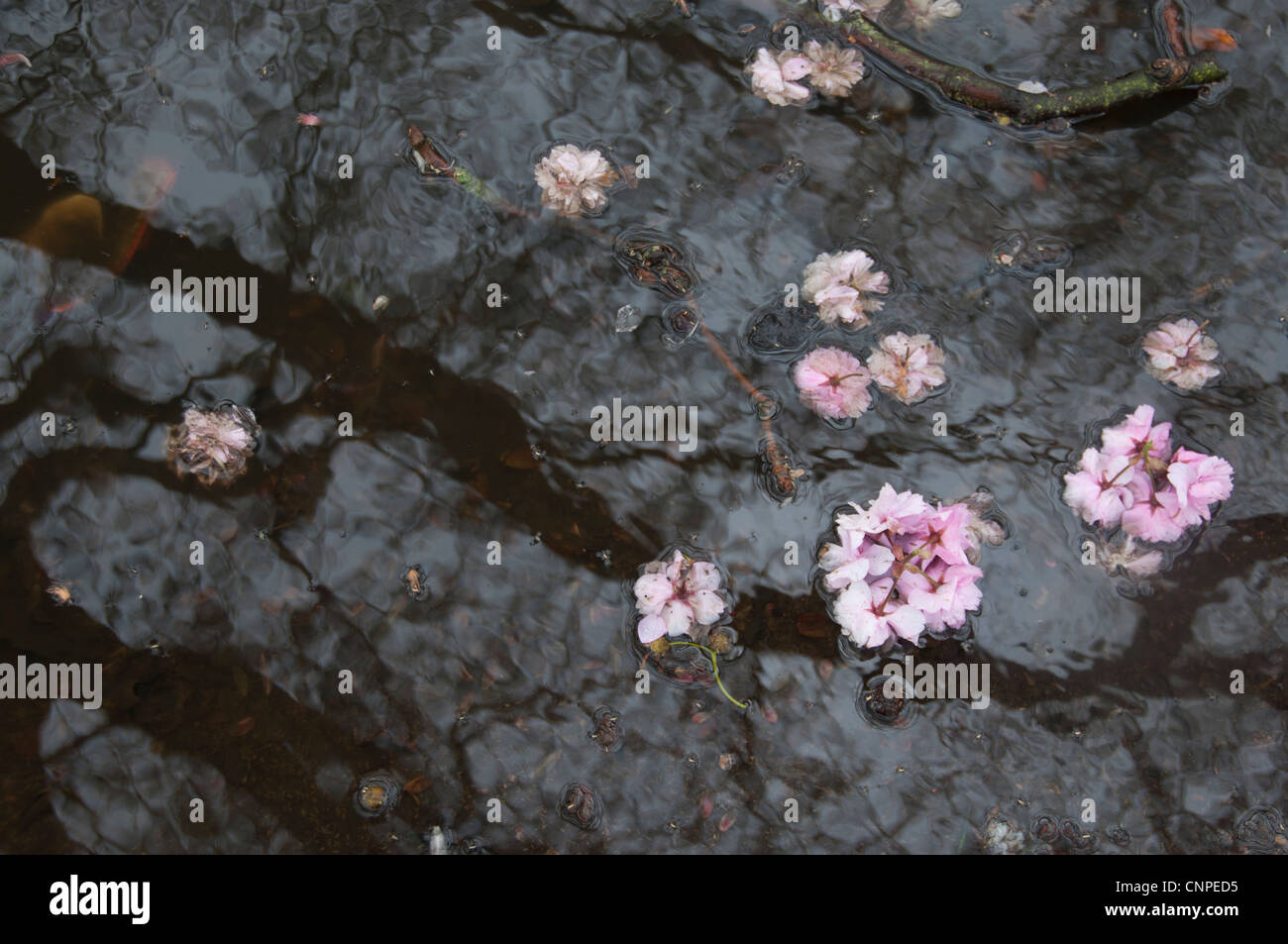 Spring weather. Puddle and cherry blossom - Stock Image