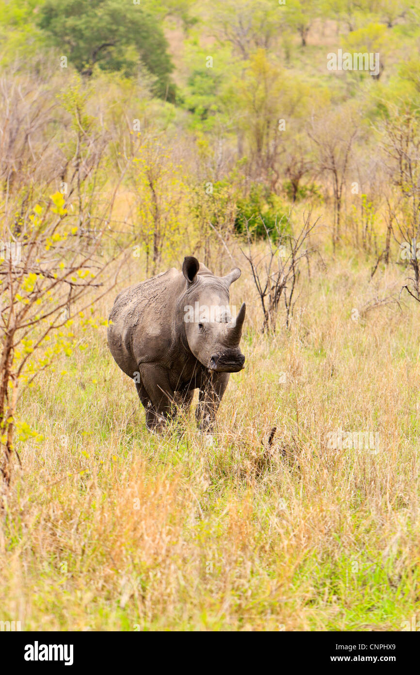 A white rhino in scrub and grassland typical of the Southern region of the Kruger National Park. Stock Photo