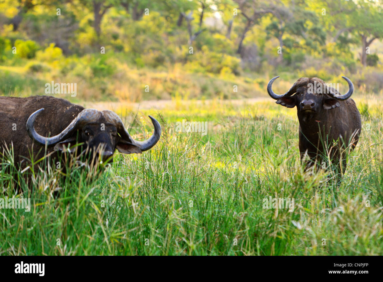 Cape Buffalo 'Syncerus caffer' bulls. These bulls are often referred to as Dagger Boys due to their thick - Stock Image