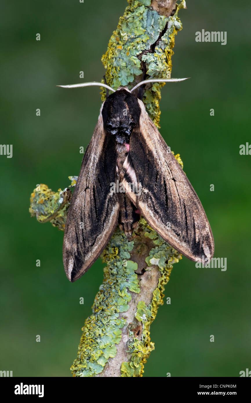 Privet hawk moth - photo#54