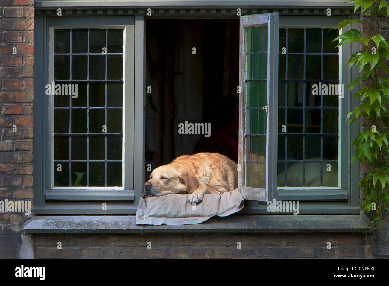 [Côté Canal bed and breakfast] dog [Golden Labrador] - Stock Image