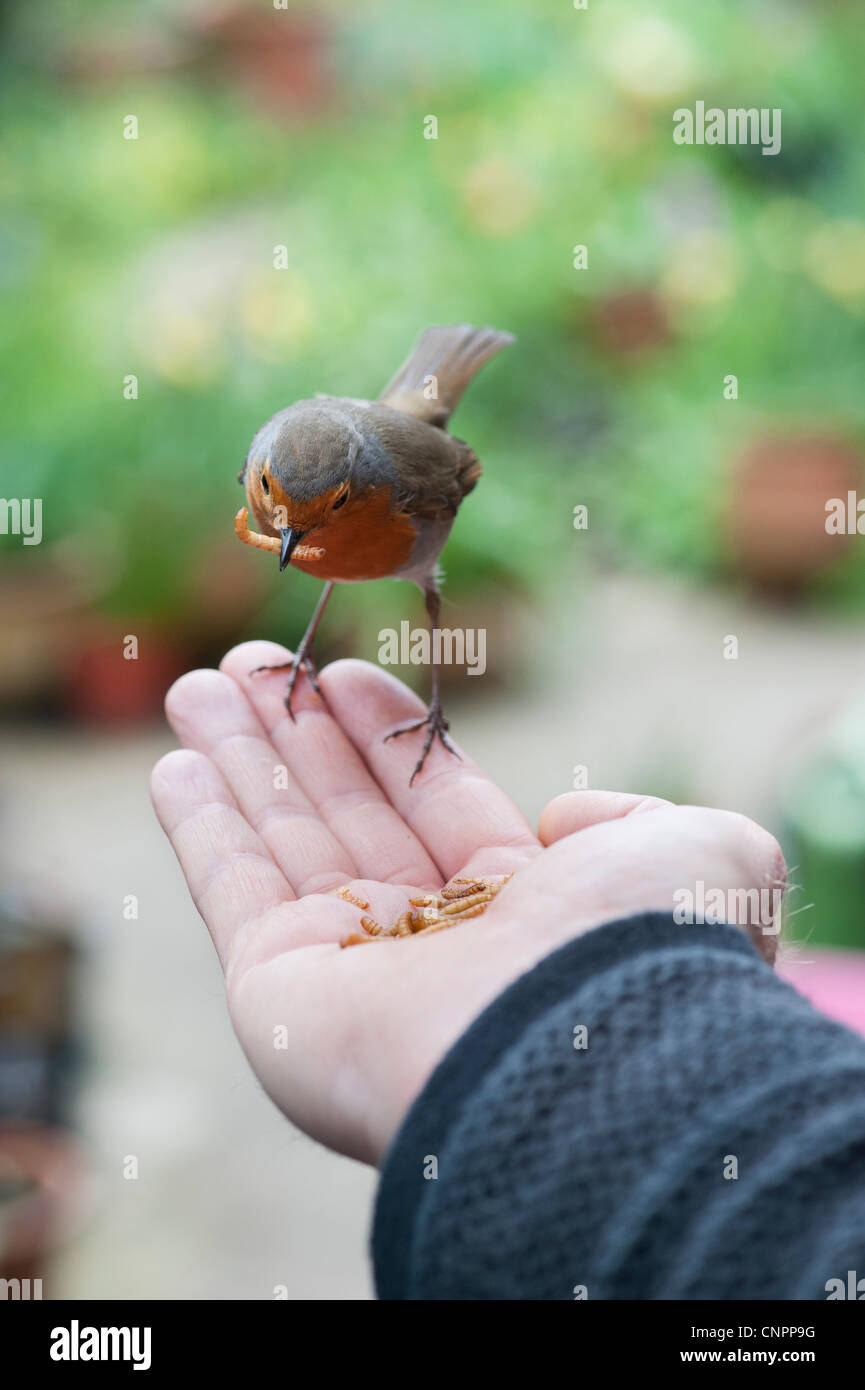 Robin feeding on mealworms from a mans hand - Stock Image