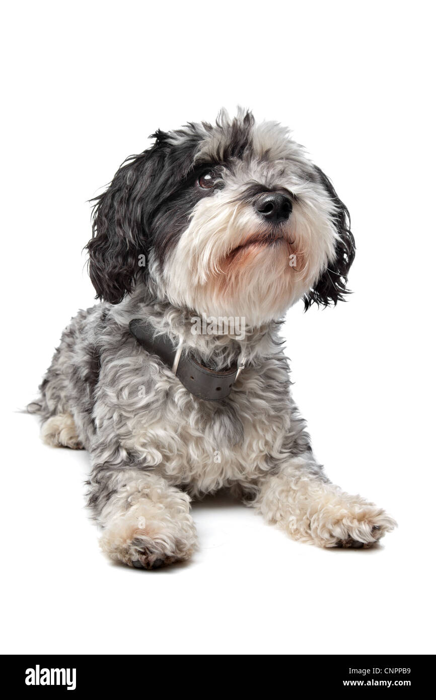 Mixed breed dog (Maltese/Terrier) in front of a white background - Stock Image