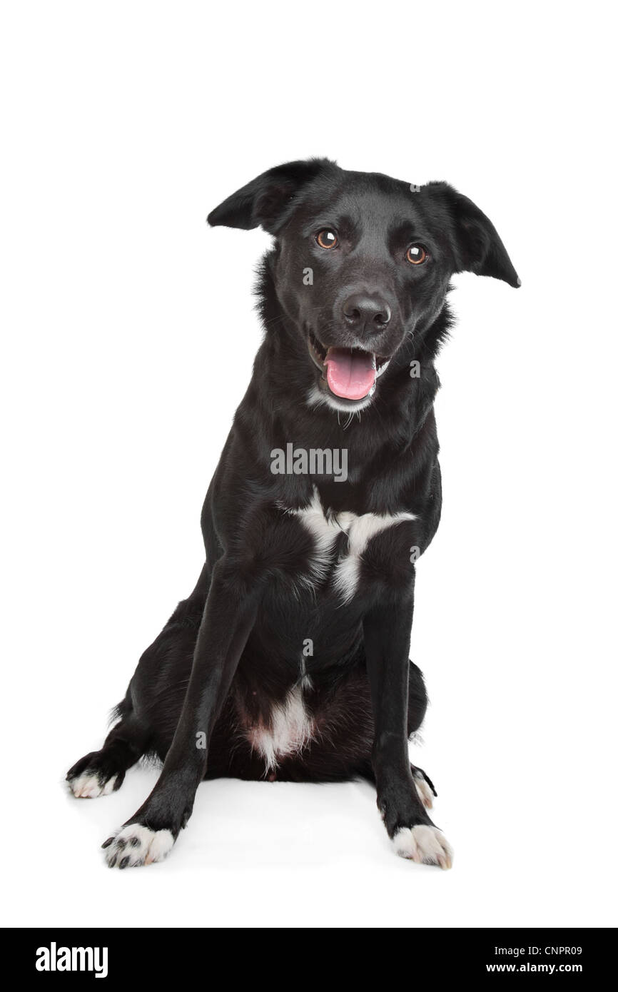 mixed breed dog. Labrador/Border collie - Stock Image