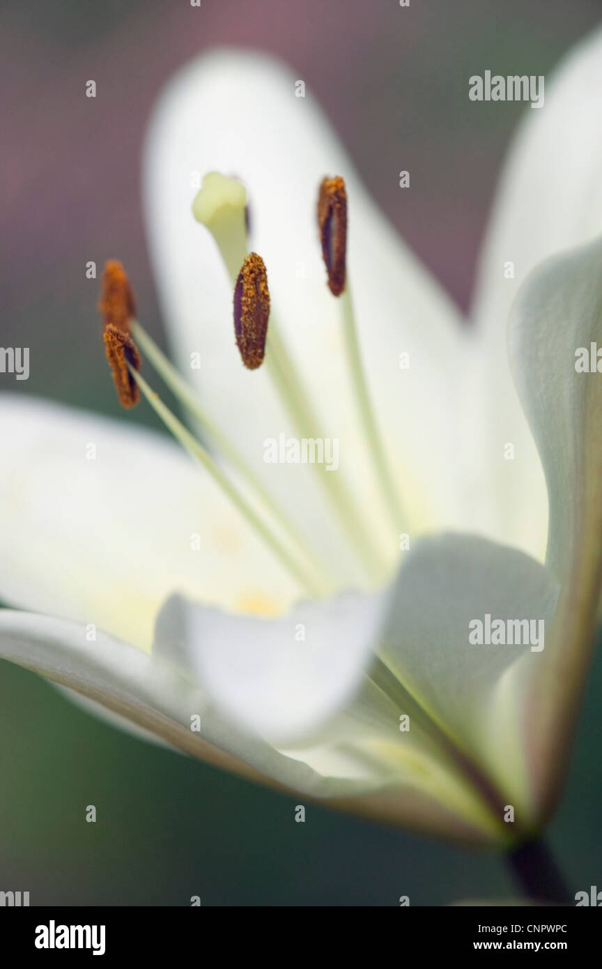 An Asiatic Lily in summer bloom. - Stock Image