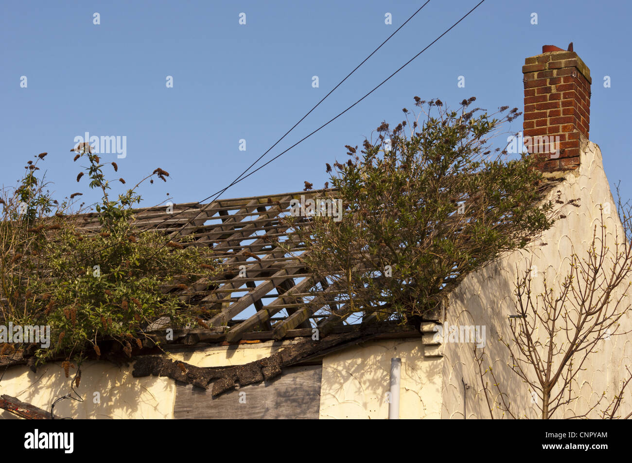 Derelict house with weeds and  buddleia davidii growing from  roof - Stock Image