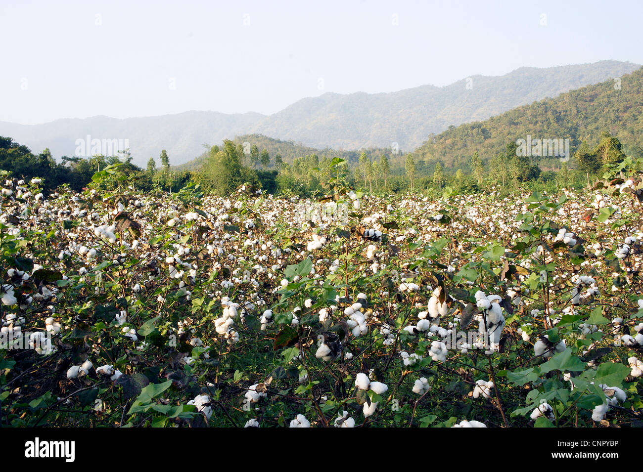 Cotton plants in a field against a mountain - Stock Image