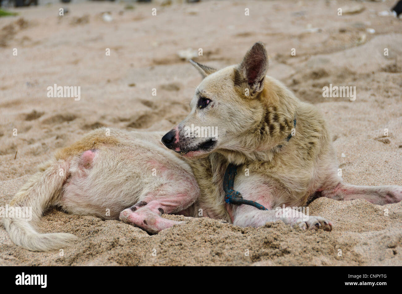 Cruelty to animals - sick dog suffering skin and eye disease lying at sand beach - Stock Image