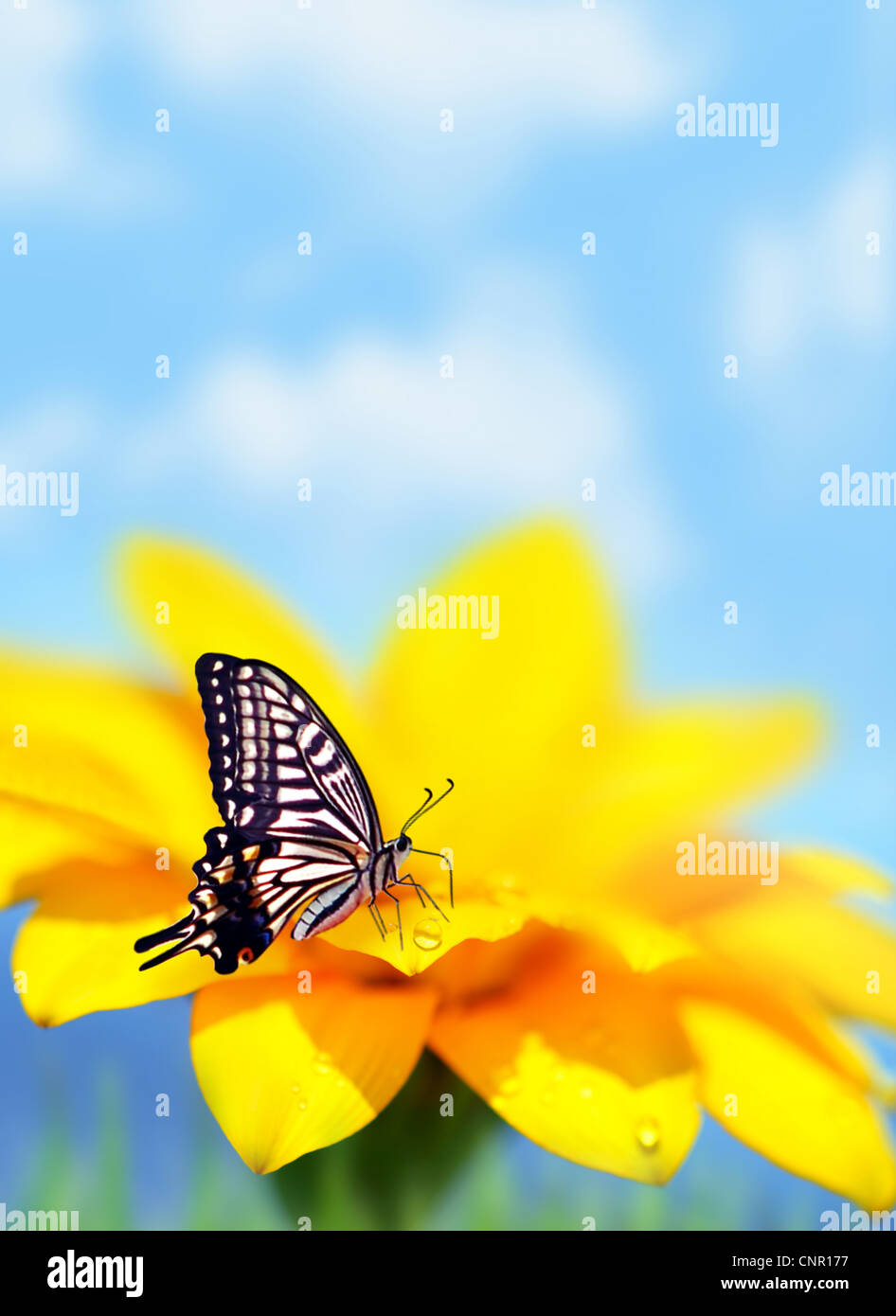 Monarch butterfly on yellow flower, natural background, selective focus - Stock Image