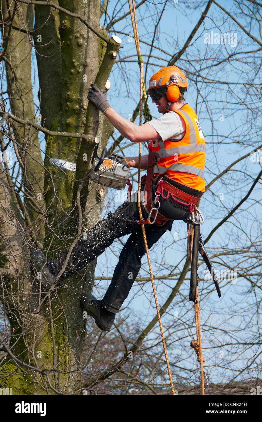 Tree pruning with a chain saw using rope access techniques.  Manchester Road, Droylsden, Tameside, Manchester, England, Stock Photo
