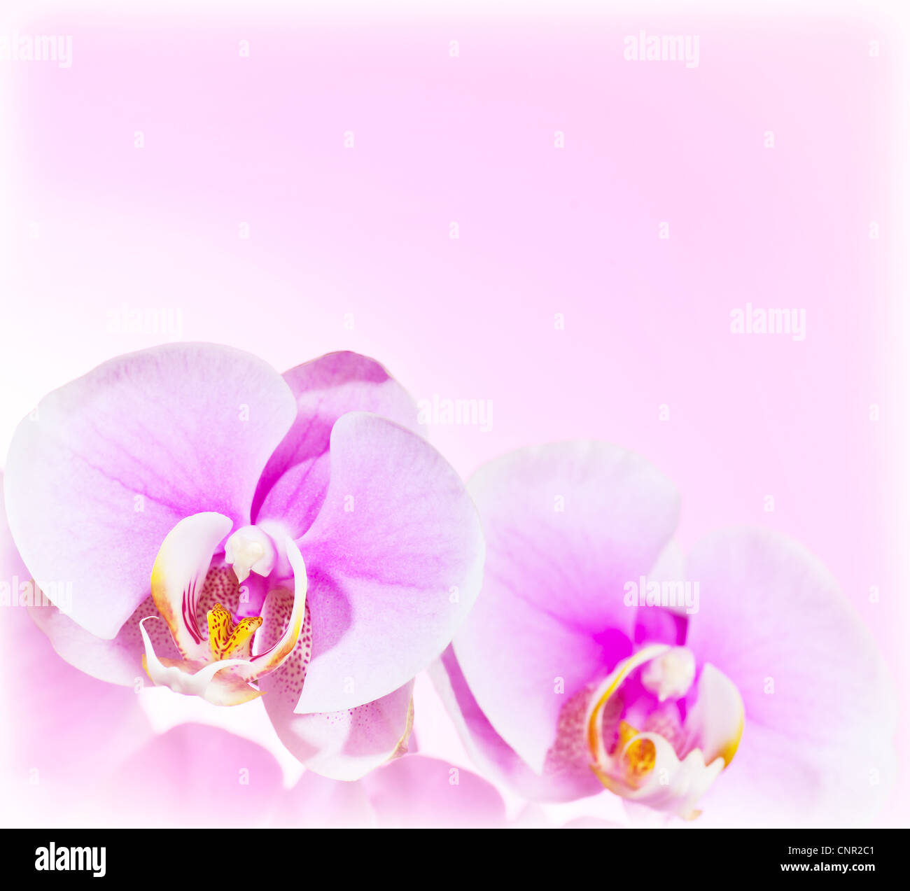 Pink Orchid Flower Border Delicate Natural Floral Background Stock