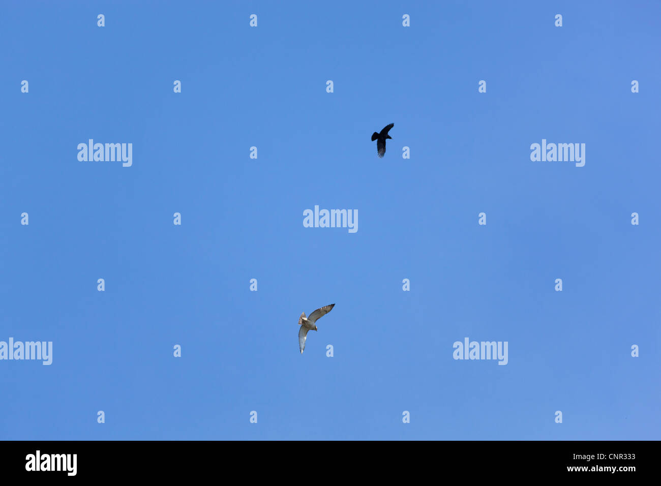 Red Tail Hawk harassed by Black bird. - Stock Image